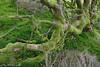 Fallen tree roots, Llyn-y-Gader, North Wales, UK (conrad_hanchett) Tags: northwales llynygader november nikond610 tree roots green fallentree moss lichen
