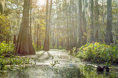 Through the Sunlight (Nola Nate) Tags: sunlight sun ibeauty cypress tree swamp woods trees reflection louisiana morgancity flatlake nature landscape reflections water