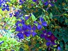 Summer Clematis (3) (maginoz1) Tags: flowers clematis summer january 2017 rosegardenbulla melbourne victoria australia canon g16