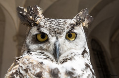 Tiger owl (JOAO DE BARROS) Tags: tiger owl bird animal joão barros portrait