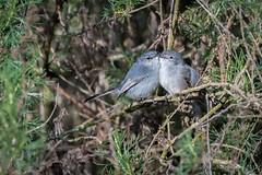 Blue-gray Gnatcatchers Snuggling. (halladaybill) Tags: uppernewportbay bluegraygnatcatcher birds mating polioptilacaerulea newportbayconservancy newportbeach orangecounty californiacoast nikond500 nikkor80400zoomlens