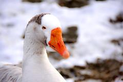 Klaxon douceur (Diegojack) Tags: préverenges vaud suisse hiver oies klaxon portrait douceur