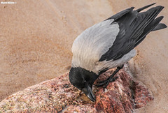 Corvus cornix (Mauro Hilário) Tags: animal bird nature wildlife lithuania baltic corvus cornix hooded crow palanga fauna