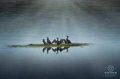 resting (kapper22) Tags: lake birds cormorants water resting