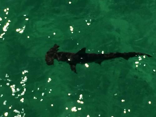 shark on the beach florida