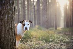 6/52 peek-a-boo (Jutta Bauer) Tags: 52weeksfordogs 52weeksforedgar 652 edgar excellentedgar dog boxermix pitbullmix morninglight forest outdoors
