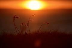 My favourite photo...x (shona.2) Tags: dof coast beach gullane scotland nikon backlit gold sun grass sunset