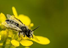 Andrena sp (Nikos Roditakis) Tags: andrena sp hymenoptera andrenidae cretan fauna greek european insects pollinators mining bees nikos roditakis nikon d5200 macro tamron af 90mm f28 di vc usd heraklion crete