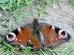 WINDBLOWN (d p hughes) Tags: summer england nature cheshire wildlife butterflies insects peacock bugs crewe inachisio