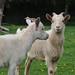 Chatting pygmy goats