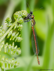 Large Red Damselfly with prey. (Crazybittern1) Tags: dragonflies largereddamselfly sigma70300mmmacro nikond7000
