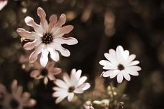 (andrewlee1967) Tags: flower canon dof bokeh ef50mmf18 andrewlee 23615 andrewlee1967 canon50d