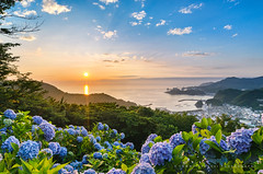 Sunset at Hydrangea Hills 2015 [Explore] (-TommyTsutsui- [nextBlessing]) Tags: blue light sunset sea sky orange cloud sun flower green nature japan landscape bay coast town nikon purple scenic  hydrangea        islet izu earlysummer     matsuzaki sigma1020  onsalegettyimages