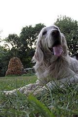 in giardino (criss1986bellagio) Tags: summer dog cane garden kimi relax colours estate bellagio colori fresco giardino englishsetter 2015