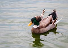 Elegancia (Elegance) (himisterpadilla) Tags: duck agua ave pato wather elegance bred elegancia