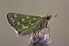 Komma-Dickkopffalter (Hesperia comma)_Q22A8160-BF (Bluesfreak) Tags: butterfly lepidoptera insekten schmetterlinge silverspottedskipper hardheim tagfalter hesperiacomma kommadickkopffalter