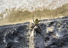 Örümcek (Sinan Doğan) Tags: hayvan turkey nikon animal örümcek
