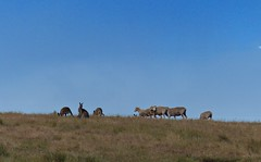Move out ! I saw the sheep on the crest of this distant hill moving together towards a herd of Kangaroos - Move out of our turf! (PsJeremy) Tags: sheep kangaroos turfwar australian bush peaceful scenery natives baa skips