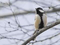 161211_GX7_1450778 (kuad9) Tags: bird