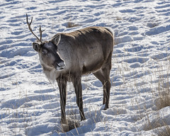 Caribou with one antler (tmeallen) Tags: caribou reindeer rangifertarandus snow foraging driedgrasses rimligiht winter yukonwildlifepreserve whitehorse yukonterritory oneantler