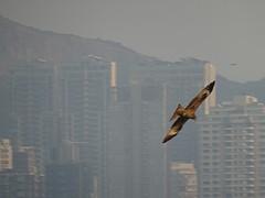Eagle Hong Kong (manchesterunitedbowie) Tags: eagle hongkong hk foreground hawke animal photography photo wow closeup sony