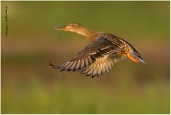 Northern Shoveler (Anas clypeata)  - 091216_DSC5641n (KK Hui) Tags: northernshoveler anasclypeata  waterfowl duck bird