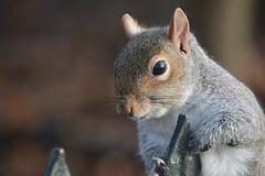 That Coy Look (Eleanor (No multiple invites please)) Tags: squirrel greysquirrel kensingtongardens london nikond7100 january2017