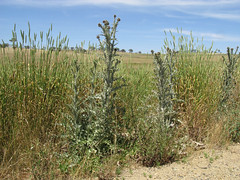 Onopordum illyricum plant1 CWS (Macleay Grass Man) Tags: asteraceae onopordum illyricum taxonomy:binomial=onopordumillyricum illyrian thistle