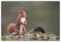 le p'tit curieux ... (guiguid45) Tags: nature sauvage animaux mammifères forêt loiret d810 nikon 300mmf28 écureuil eurasianredsquirrel écureuilroux squirrel