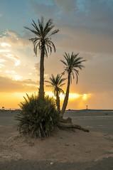 Sunset at Erg Chebbi... [Merzouga, Morocco - 2012] (Jose Constantino Gallery) Tags: morocco ergchebbi merzouga desert palmtree sand sahara jose constantino 2012