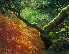 Portland Japanese Garden 3405 (jim.choate59) Tags: autumn fall portlandjapanesegarden jchoate leaves backlight moss light tree portlandoregon on1pics