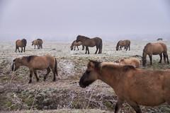 30-12-2016 - Oostvaardersplassen - DSC09382 (schonenburg2) Tags: oostvaardersplassen konikpaarden winter