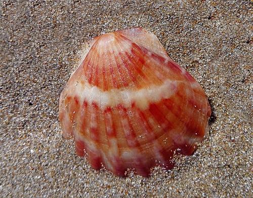 Гребешок черноморский / Flexopecten glaber ponticus