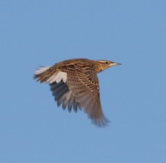 Eastern Meadowlark (Sturnella magna) 12-28-2016 Assateague I. NS--km 4-6., Worcester Co. MD 3 (Birder20714) Tags: birds maryland meadowlarks icteridae sturnella magna