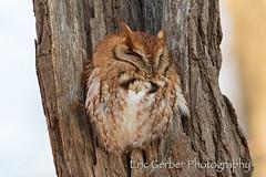 Screech Owl (Eric Gerber) Tags: screechowl bird birds eastern ericgerber forest nest nesting owl owls raptor screech tree trees wild wildlife woods