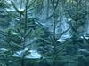 Angel hair (joeke pieters) Tags: 1300050 panasonicdmcfz150 dennenboom spar pine fir spinnenweb web spinrag cobweb dauw dew engelenhaar angelhair