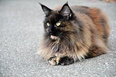 Cat (elka.) Tags: cat chat cats katze kot katte katt kotek kotka gata gatta gato animal gatto germany neko кошка γάτα котка outdoor nikon street freiburg кошки feline