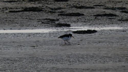 Oystercatchers on a rocky shore