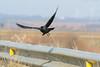 Al vuelo (sergio estevez) Tags: vuelo aves color fauna pajaros luz naturaleza lajanda nikonafs300mmf4 sergioestevez grajilla negro