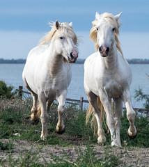 2016 Two Camargue Stallions (35) (maskirovka77) Tags: saintlaurentdaigouze languedocroussillonmidipyrén france languedocroussillonmidipyrénées fr stallion stallions whitehorse whitehorses whitestallion whitestallions createaway photoworkshop