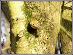 Goldcrest (Regulus regulus ) (postman.pete Thanks for 2m Views) Tags: robins pin cushion view goldcrest treecreeper 3coursemeal lambo fieldfare stonechat neon blue tit dunnock lumix hwcp colchester