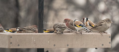 European Goldfinch (Carduelis carduelis) (mesquakie8) Tags: bird finch feedingatafeederstation adults europeangoldfinch cardueliscarduelis eugo birdsneststore kenosha kenoshacounty wisconsin 6526