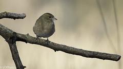 Finch - (f) (Luigi131160) Tags: finch fringuello passeraceo fringillacoelebs nikond7200 sigma500mmf45exhsm