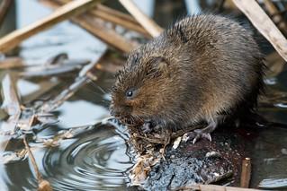 Water Vole Derbyshire 01-02-17 Ian W