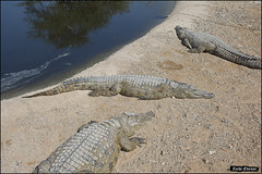 Crocoloco-IZE-186 (Zachi Evenor) Tags: zachievenor israel crocoloco crocolocofarm crocodilefarm crocodiliansfarm crocodile nilecrocodile crocodylusniloticus crocodylus niloticus crocodilia crocodilians haarava riftvalley צחיאבנור ישראל קרוקולוקו חוותקרוקולוקו חוותתנינים חוותתנינאים תניןהיאור תנין היאור תנינים קרוקודיל קרוקודילים תנינאים הערבה 2017 hatzeva 20170221