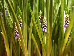 2015-03-04 S9 JB 86418##coac (cosplay shooter) Tags: hyacinth hyazinthe 300z x201511