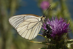 Black-veined White (martinsmith14) Tags: butterfly lesvos blackveined white aporia crataegi lepidoptera