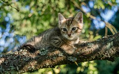 junior (02) (Vlado Ferenčić) Tags: cats animal animals kitty croatia junior catsdogs hrvatska hrvatskozagorje zagorje nikond600 nikkor2485284