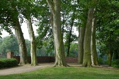 Baumgruppe (JohannFFM) Tags: germany frankfurt main platanen gutleutstrase sommerhoffpark