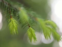 Tree sprouting life 2 (Kimmo Räisänen) Tags: summer tree nature needles olympuspenepm1